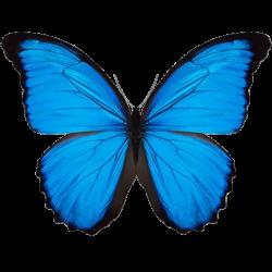 Kleiner Papillon vom Schmetterlingswald
